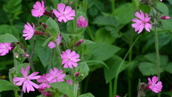 Red Campion *