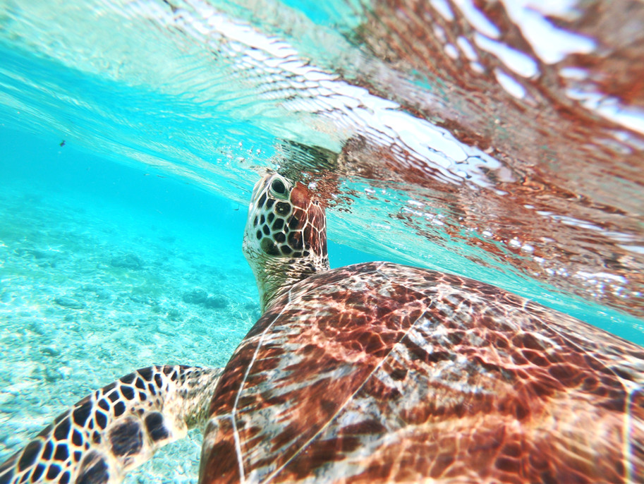 Turtle coming up for air