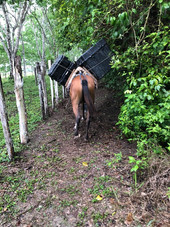 Lucinda, the horse, helping us transport the drone and drone batteries
