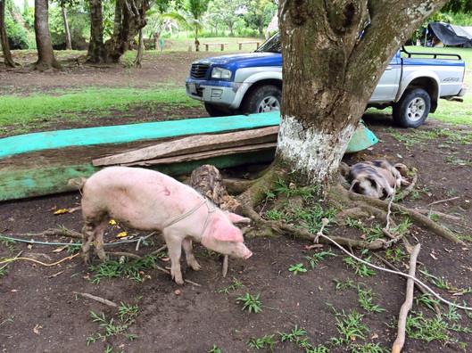 Cerdos en el campamento!