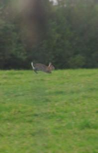 Rabbit in Welsh field