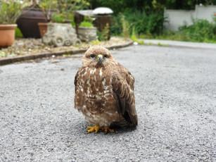 Baby bird of prey