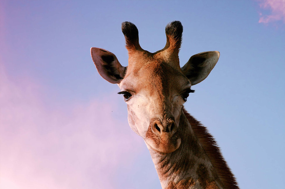 Giraffe_Foto_Rand_edited.jpg