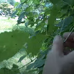 Grape Vines with Susun Weed