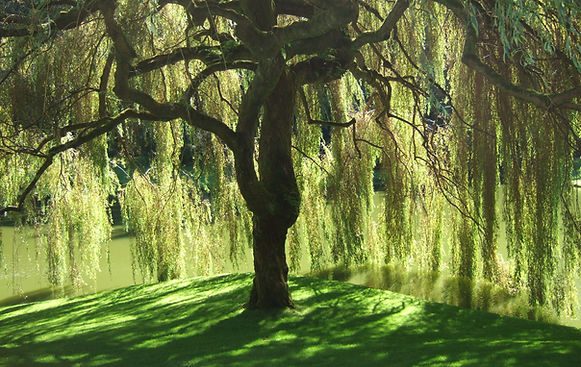 Bloedel-Reserve-Willow-Tree.jpg
