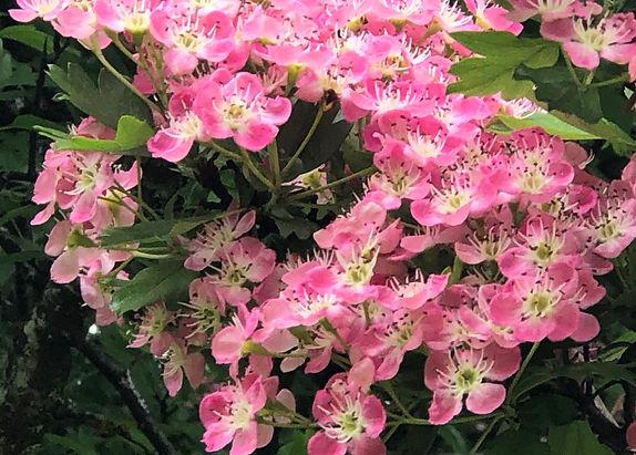 EagleSong ~ Flowering Hawthorn.jpg