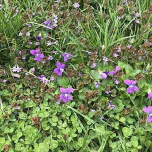 Violets are smiling at you