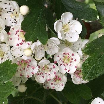 Hawthorn flowers- EagleSong.jpg