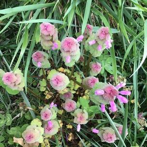 Purple dead nettle in full bloom. Sure is pretty.