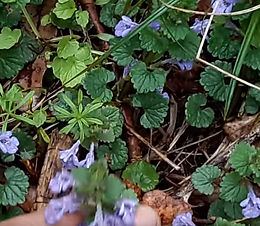 Ground Ivy, Blood root and more