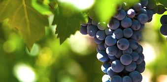 Grapes in Samos, Greece