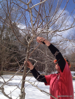 Trimming apple tree