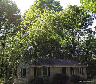 storm damaged birch tree