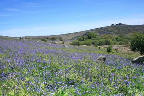 Fields of spectacular bluebells during spring