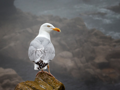 'Black Tailed Gull' by Chelle McGaughey - Commended