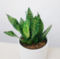 Snake Plant at Plant Therapy Vancouver