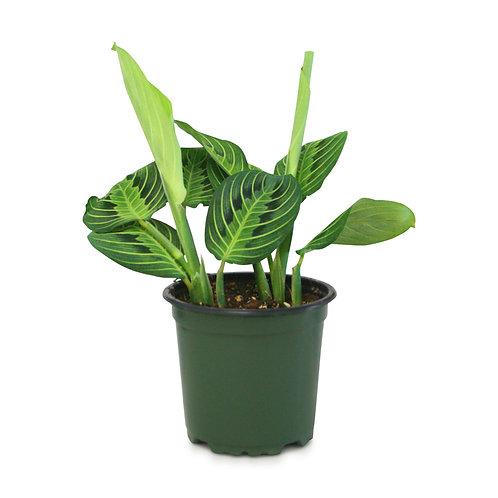 """Lemon Lime Prayer Plant (Maranta) 4"""""""
