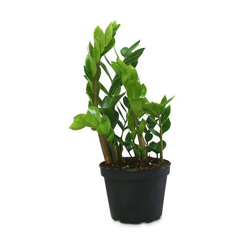 Zamioculcas Zamiifolia ZZ Plant Vancouver Plant Delivery