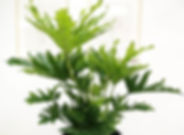 Selloum Plant Vancouver
