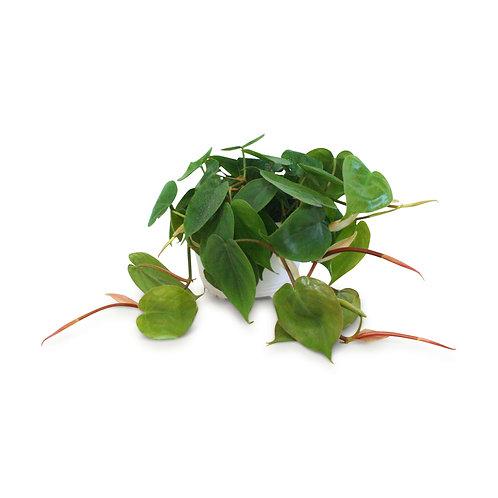 "Heartleaf Philodendron 6"""