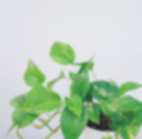 Golden Pothos Plant at Plant Therapy Vancouver