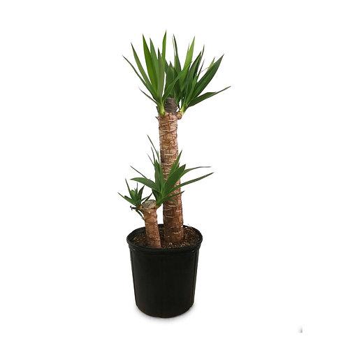 "Yucca Tree 10"""