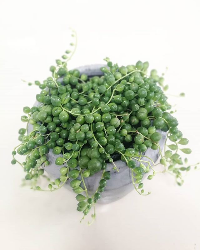 String of Pearls Plant at Plant Therapy