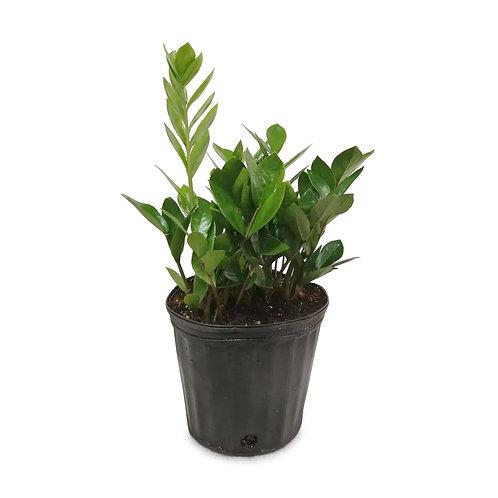 """ZZ Plant 10"""""""
