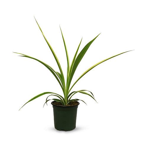 "Spider Plant 4"""