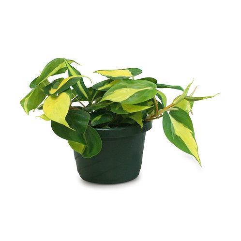 "Philodendron Brasil 6"""