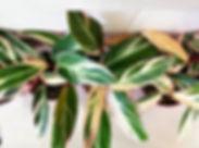 Stromanthe Vanouver