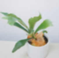 Staghorn Fern at Plant Therapy Vancouver