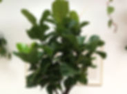 Fiddle Leaf Fig Vancouver