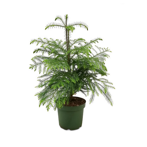 Norfolk Island Pine Vancouver Plant Therapy