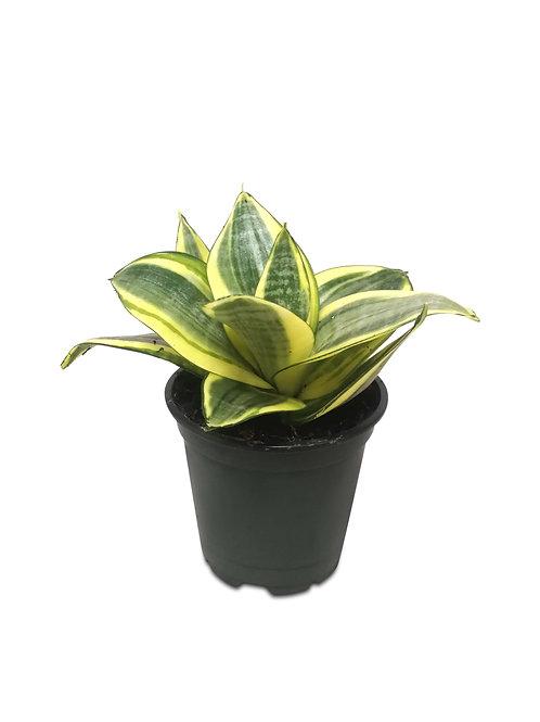 """Golden Hahnii Snake Plant 4"""""""