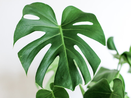 Monstera Lovers.