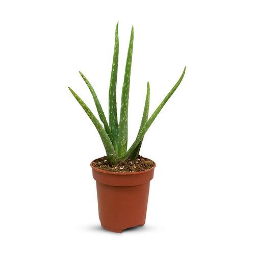 "Aloe Vera 4"""