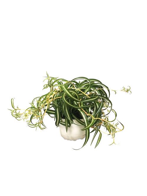 "Spider Plant (Curly Sue) 6"""