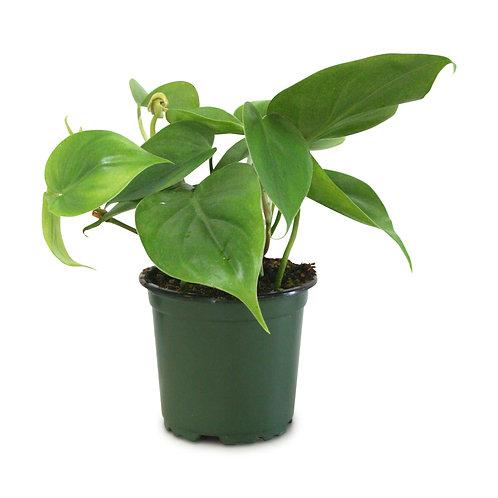 "Philodendron Heart Leaf Cordatum 4"""