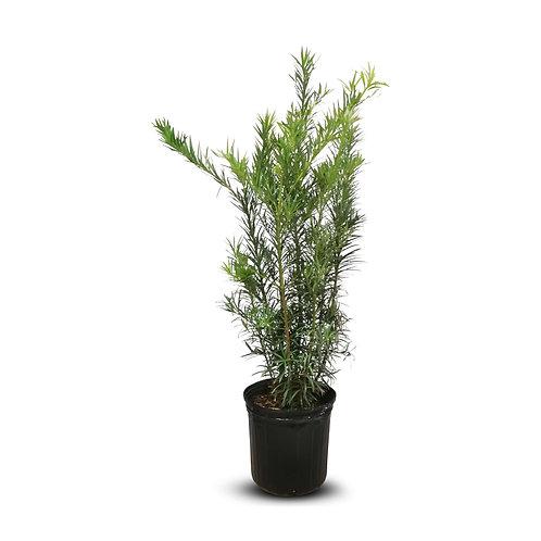 "Buddhist Pine Bush 10"""