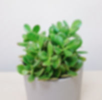 Jade Succulent Plants at Plant Therapy Vancouver