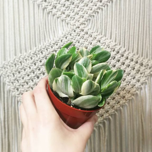 Variegated Jade Plant at Plant Therapy