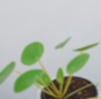 Pilea Plant at Plant Therapy Vancouver