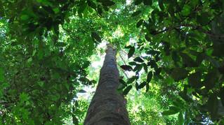 Manejo florestal para extração de madeira altera oferta de espécies de árvores na Amazônia