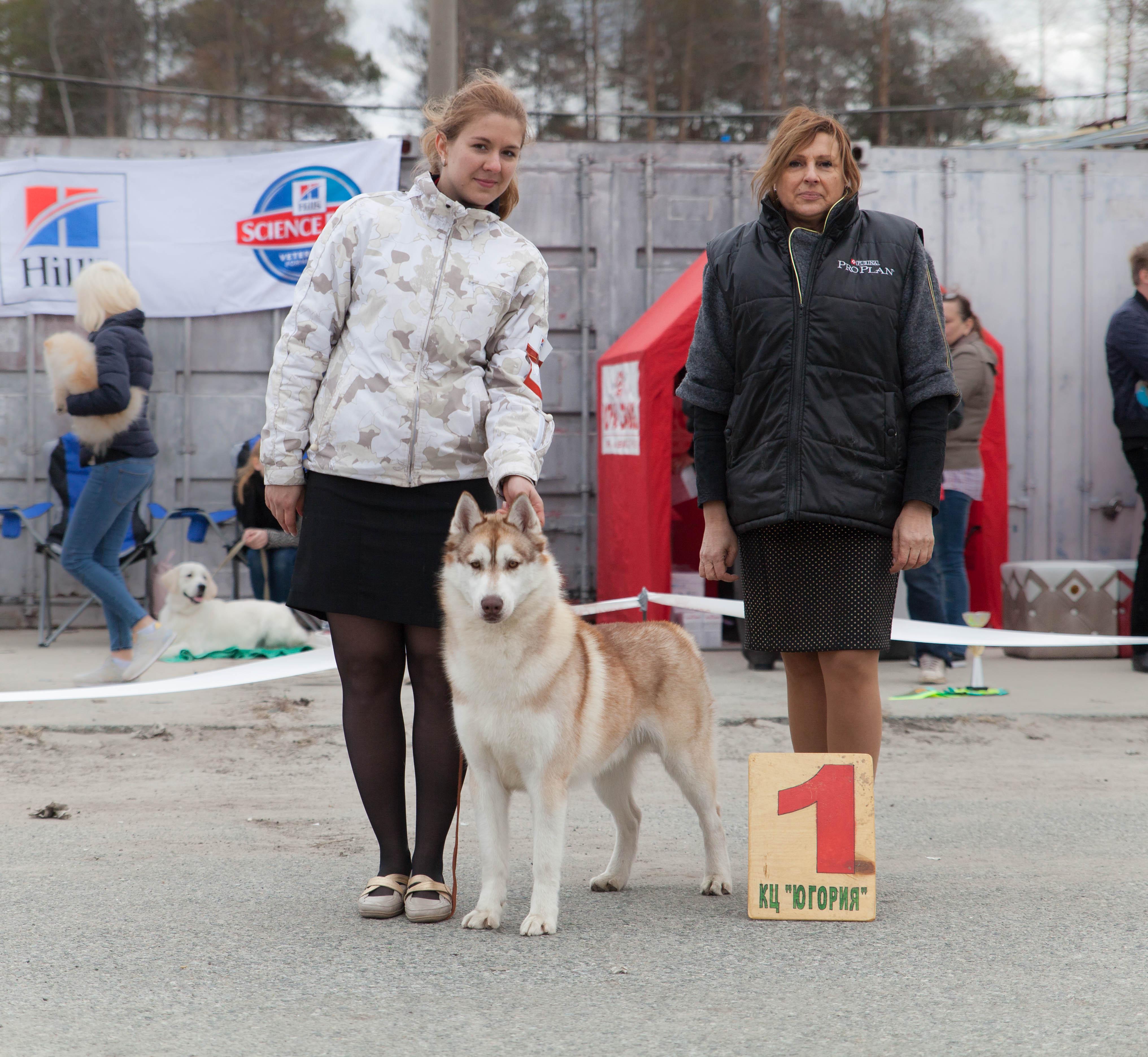 сибирский хаски в Сургуте