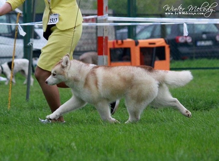 Noble's serena JS (Serene) BOB Puppy on CACIB Opole (Poland)__thanks Winter Melody Siberians for thi