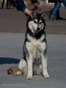 Husquisher Virginia Wolf aka Mia_5 month