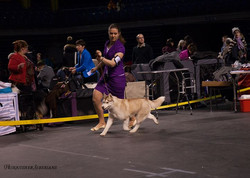 We are having a great trip with Serena!_March 1, 2014_Naional dog show in Tallin, Estonia (expert A