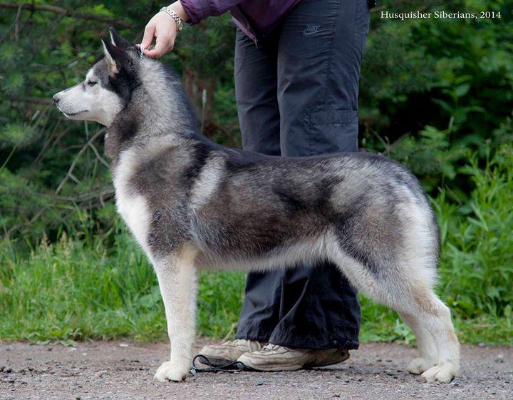 owner Husquisher Siberians