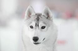 junior female husky WDS2018
